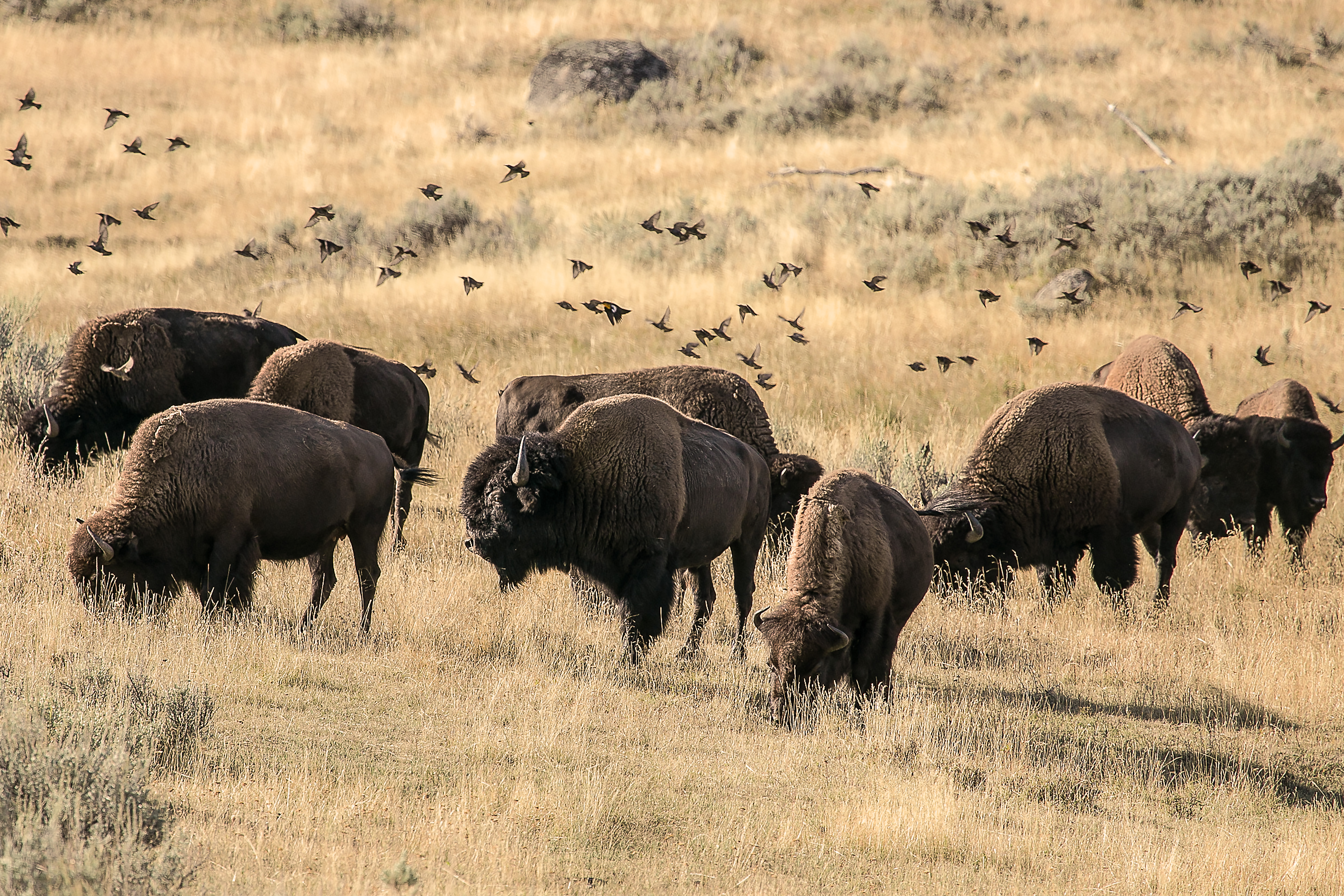 Bison and Birds 1 9452